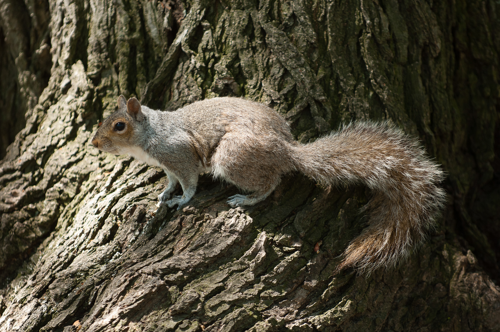 Grey squirrel (Boston)
